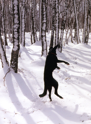 The DancingDog - dancing for snowballs.